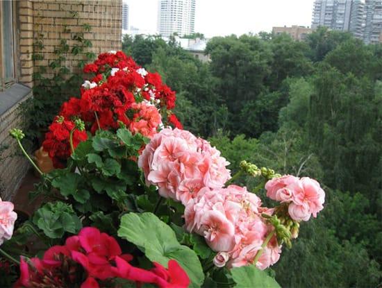 Неприхотливая пеларгония украсит любой балкон