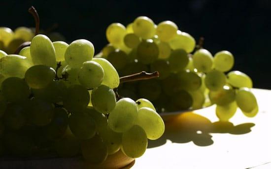 Виноград кеша для озеленения садовой беседки