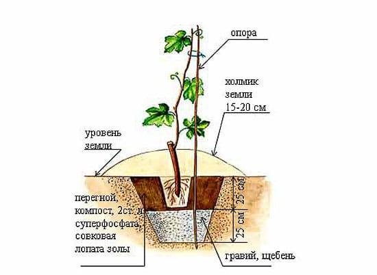 Правильная посадка винограда для озеленения беседки